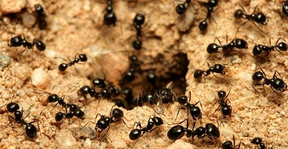 Beware: A Solitary Ant Scurrying Across Your Kitchen Bench Isnu0027t Lost, Itu0027s  A Scout For Hundreds Or Thousands Of Its Nest Mates Waiting U2014 In Lawns,  Walls, ...