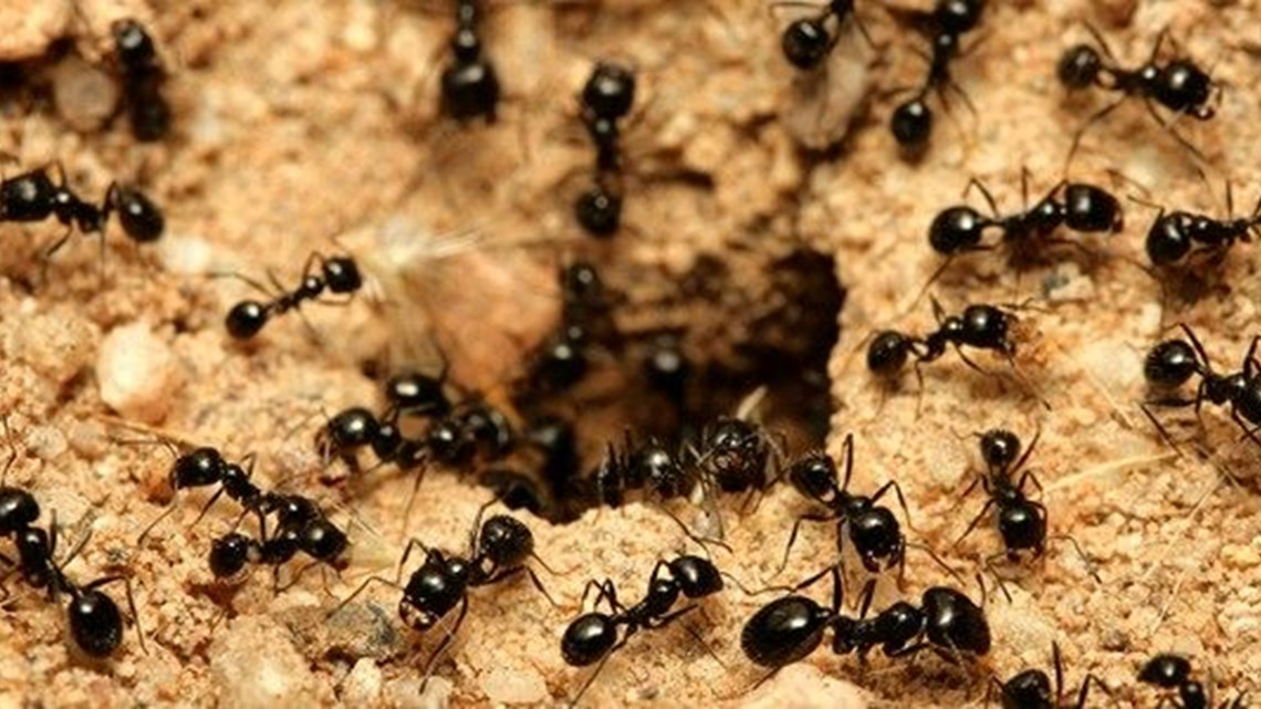 How Do I Get Rid of Ants in my Home?   Mortein